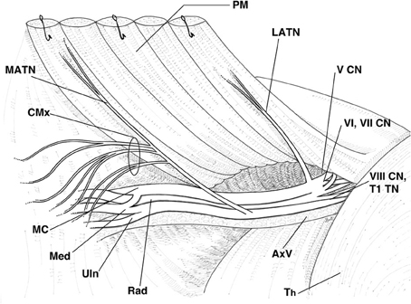 Frontiers The Brachial Plexus Branches To The Pectoral Muscles In