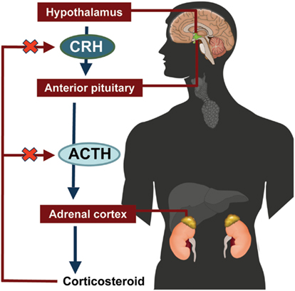 hypothalamic pituitary adrenal axis suppression and inhaled corticosteroid therapy