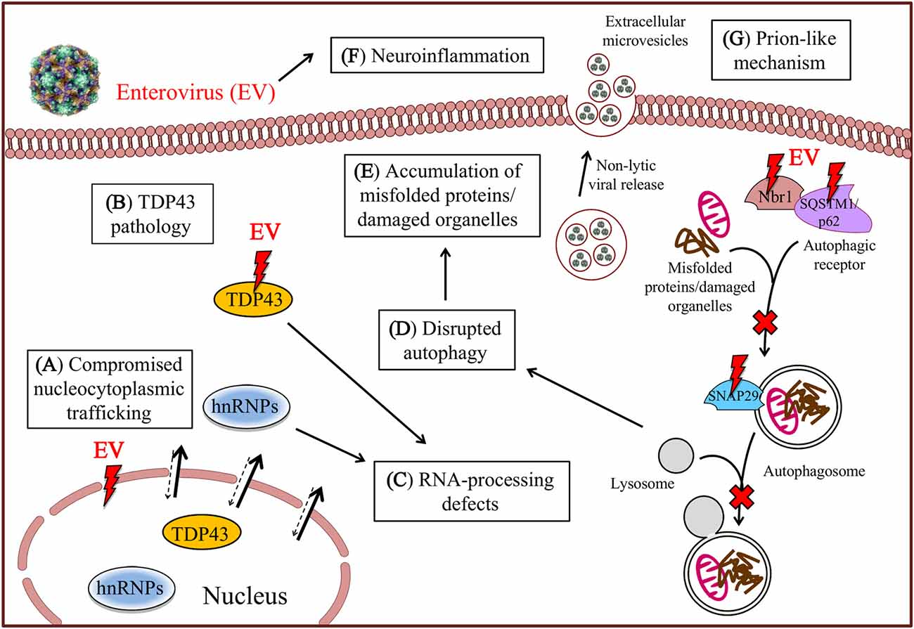 Frontiers   Enteroviral Infection: The Forgotten Link to Amyotrophic