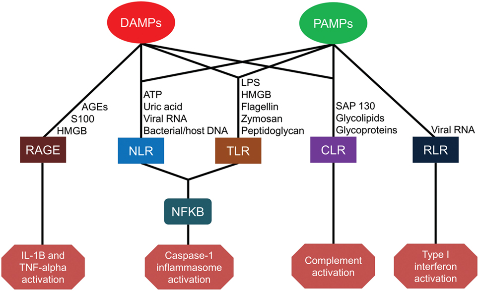 Frontiers Innate Immunity In The Persistent Inflammation