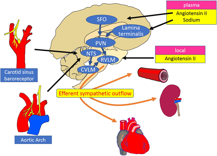 Frontiers | Role of the Sympathetic Nervous System and Its