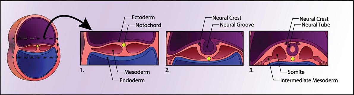 Frontiers Modeling Neuropsychiatric And Neurodegenerative Diseases
