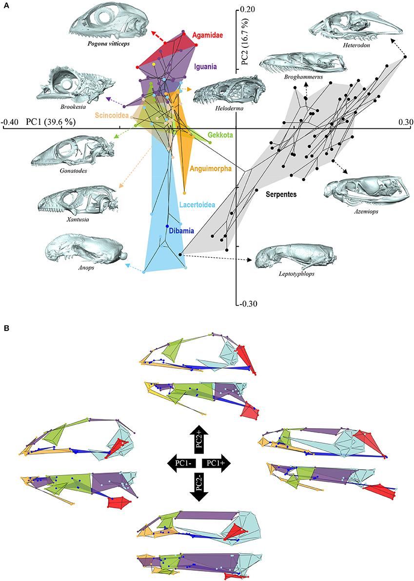 Back Gt Gallery For Gt Snake Skull Diagram