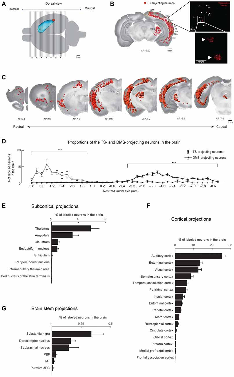 Frontiers Anatomical Inputs From The Sensory And Value Structures