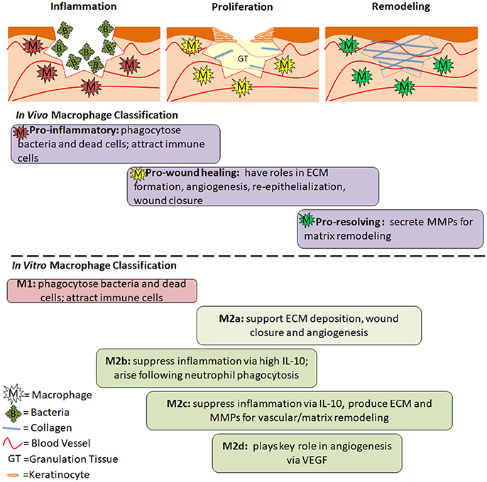 Frontiers | The Role of Macrophages in Acute and Chronic