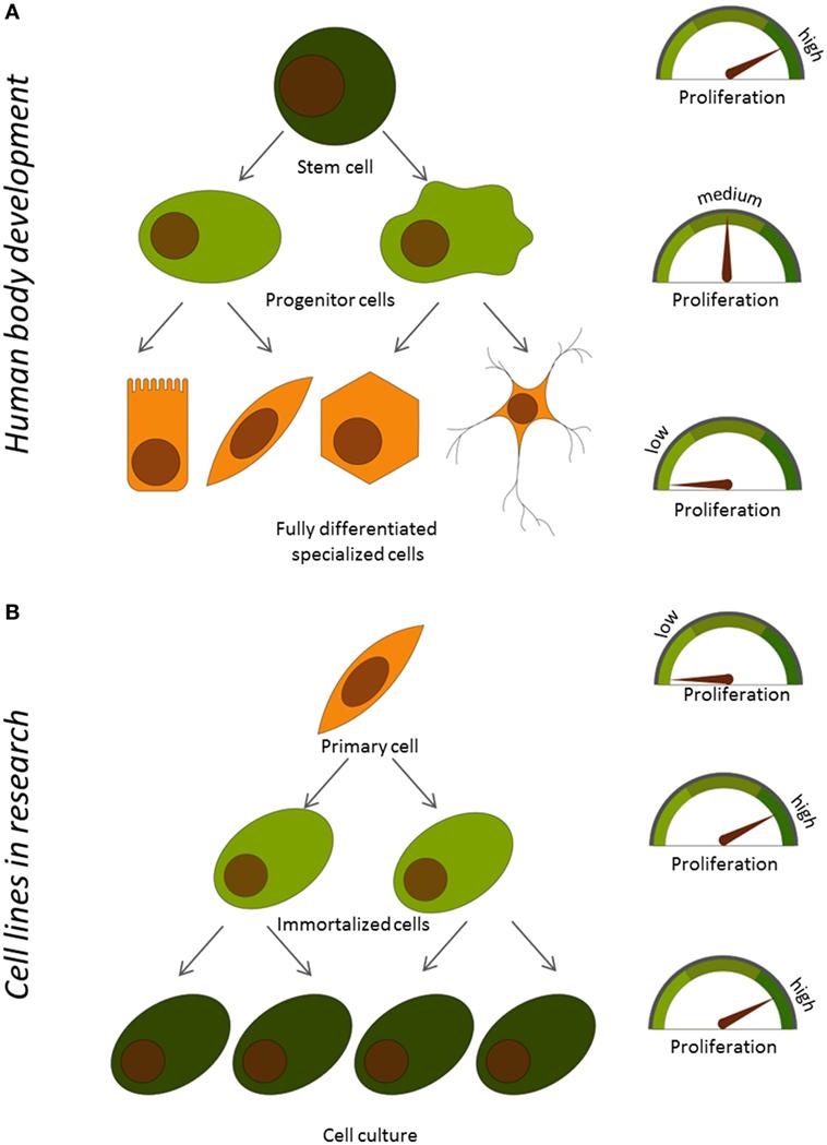איור 1 - הַקֶּשֶׁר בין הִתְרַבּוּת (A) תאיםותפקודם במהלך ההתפתחות של גוף האדם, (B) בתאים ראשוניים ותאים שמתרבים במעבדה ללאגבול.