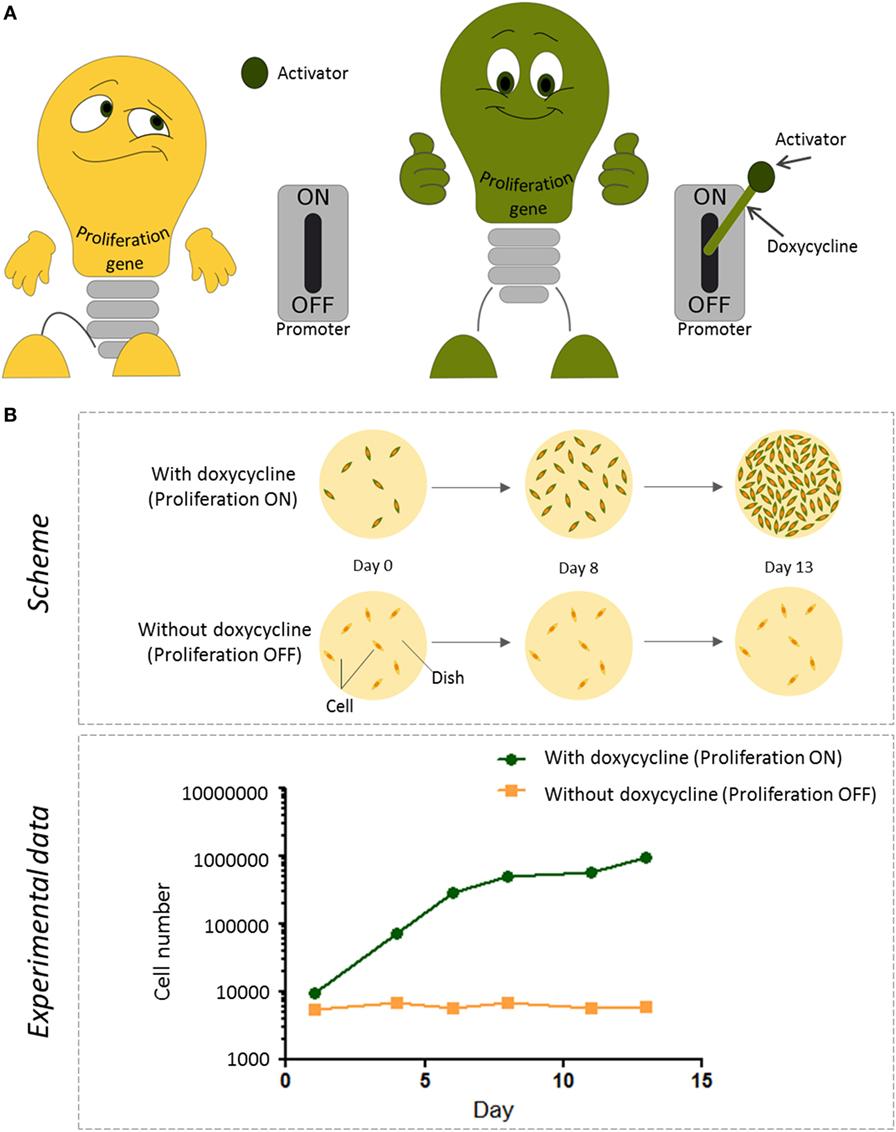 איור 2 - כיצד אנו שולטים בהִתרבות תאים אימורטלייםבמעבדה (A) מקדם ה-Tet הוא כמו מתג שיכול להדליק גן של התרבות תאית או לכבותו.