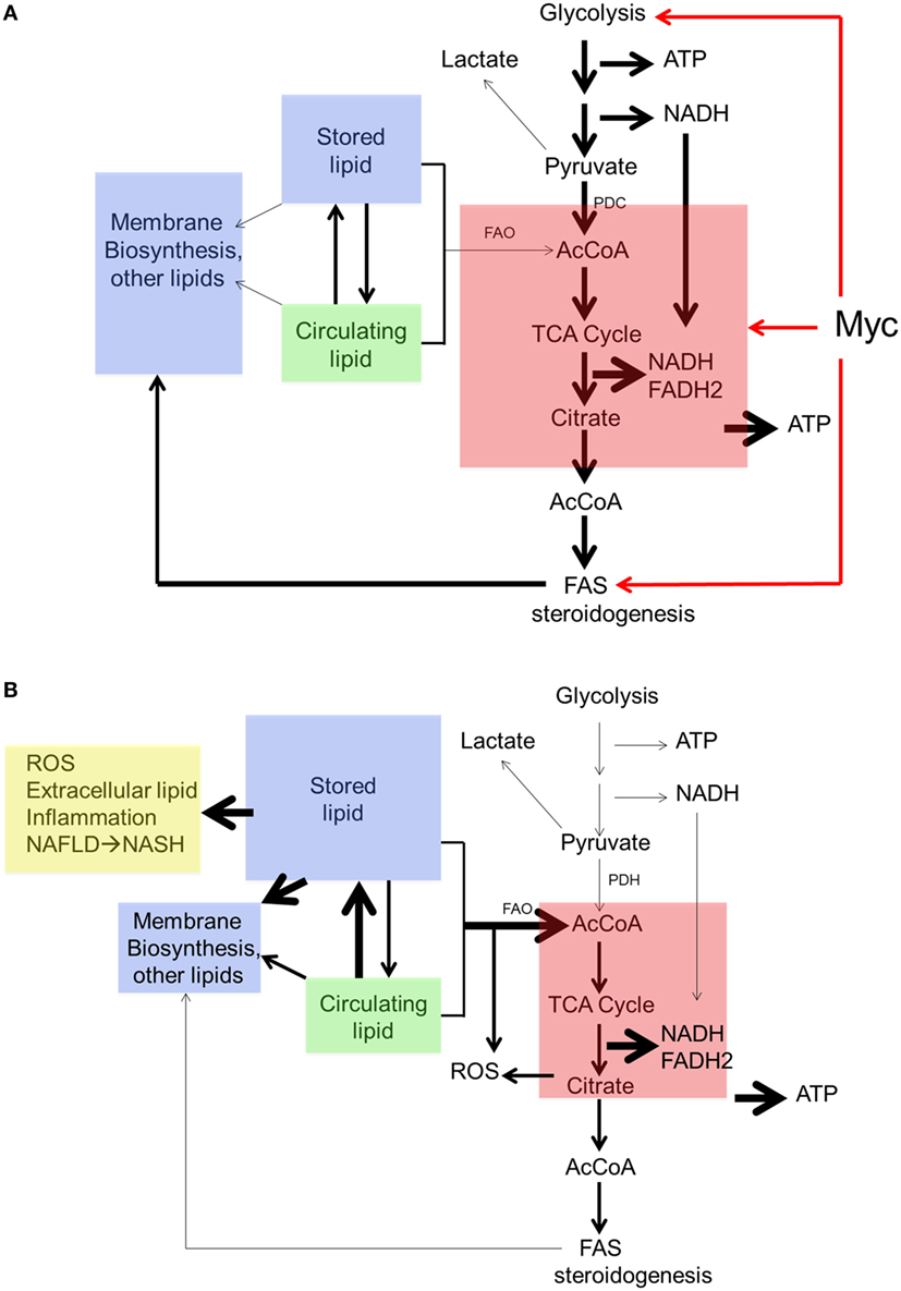 Frontiers The Role For Myc In Coordinating Glycolysis Oxidative Fuse Box Diagram 2006 Mercedes Benz S43