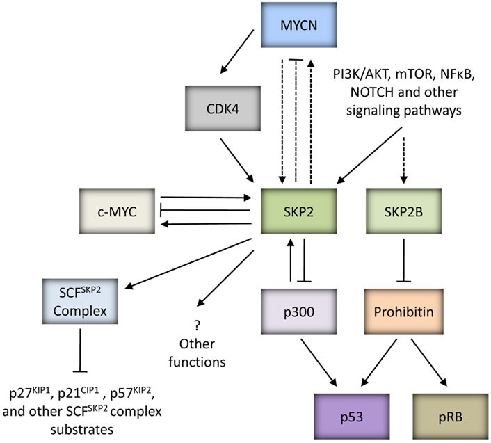 Frontiers P53 Skp2 And Dkk3 As Mycn Target Genes And
