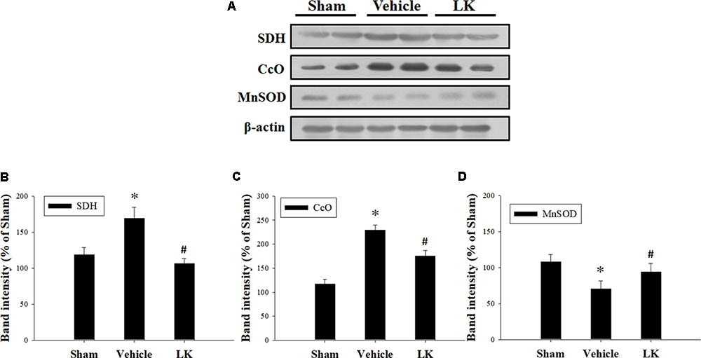 Frontiers | Sirt1 Activation by Post-ischemic Treatment With