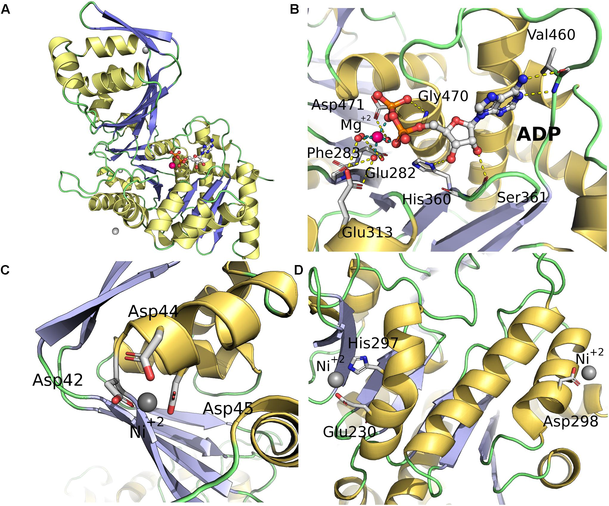 Frontiers | ADP-Dependent Kinases From the Archaeal Order