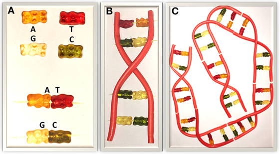 Figure 2 - Structure of DNA modeled using gummy bears and liquorice.