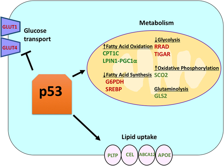 Frontiers The P53 Tumor Suppressor In The Control Of Metabolism And Ferroptosis Endocrinology