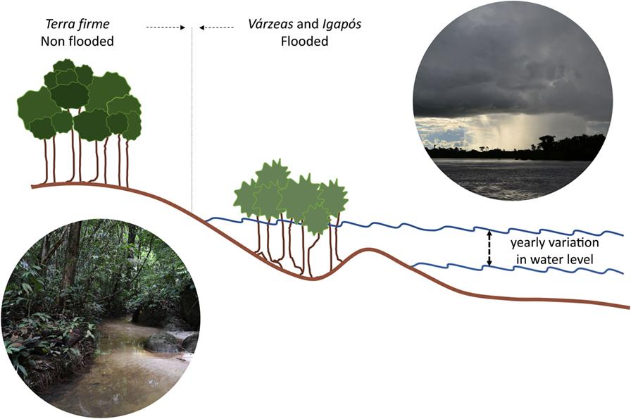 איור 2 - פעימת השיטפון של נהרות אגן האמזונס, המראָה את הפאזוֹת היבשתית והמימית בצמחיית הגדות.