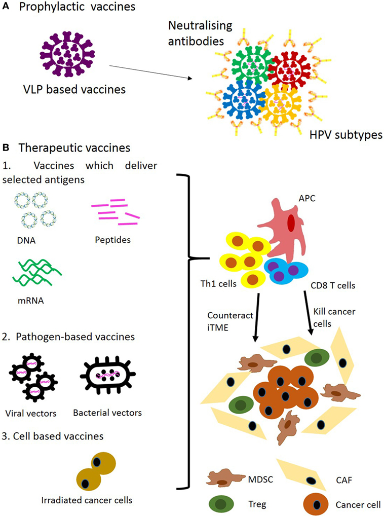 Frontiers | Targeting Head and Neck Cancer by Vaccination | Immunology