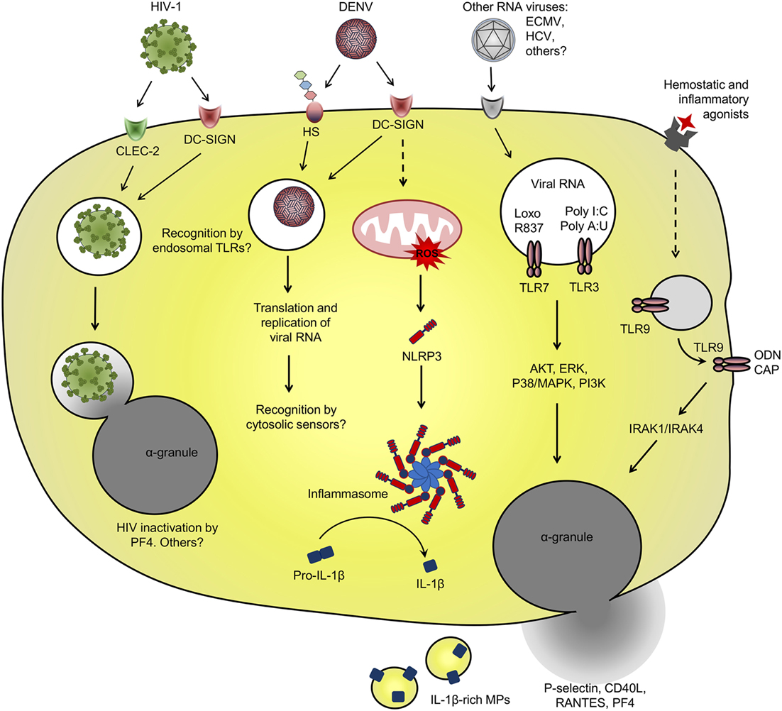 Dengue Fever Infects La Fte De >> Frontiers Platelets In Immune Response To Virus And
