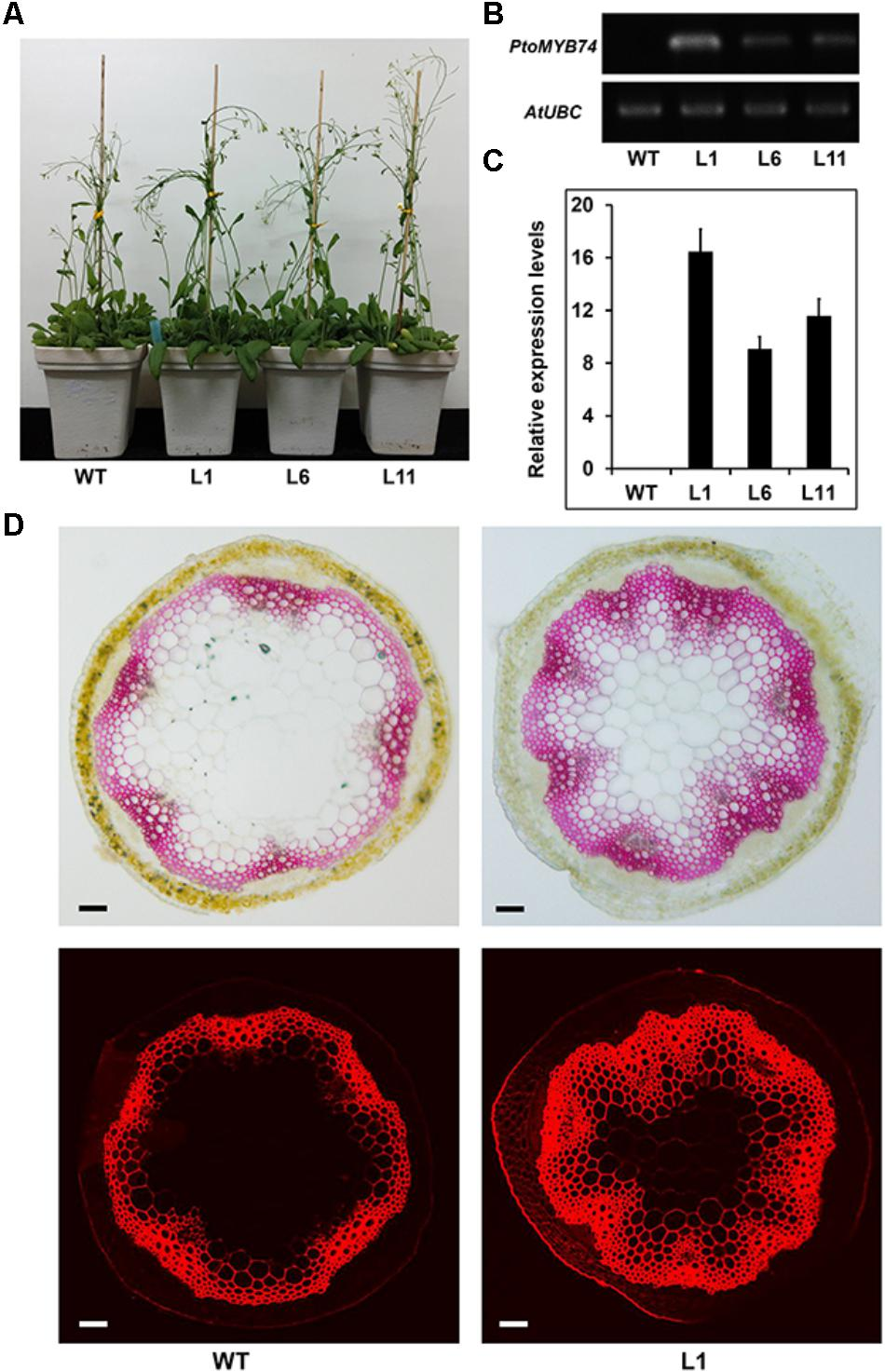 Frontiers | Ectopic Expression of PtoMYB74 in Poplar and Arabidopsis