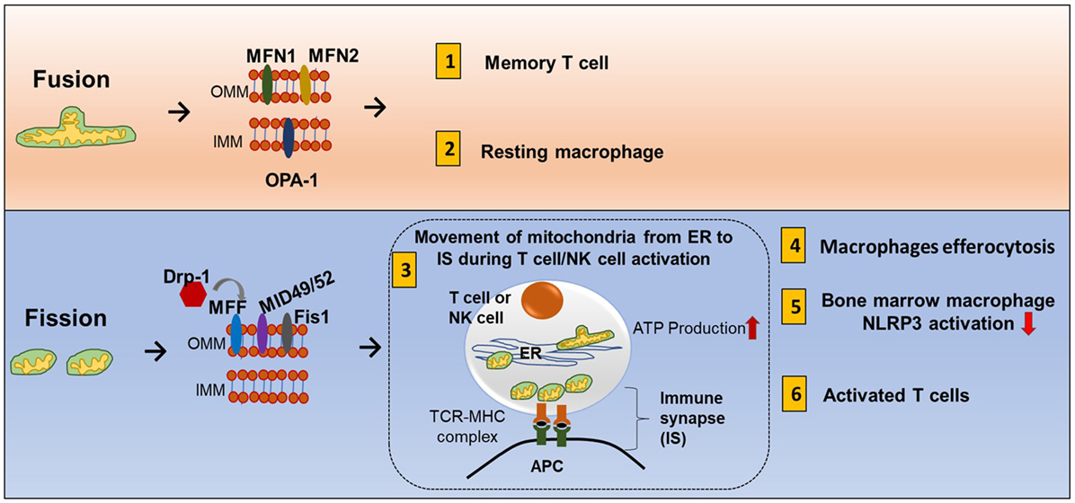Frontiers Diverse Roles Of Mitochondria In Immune Responses Novel