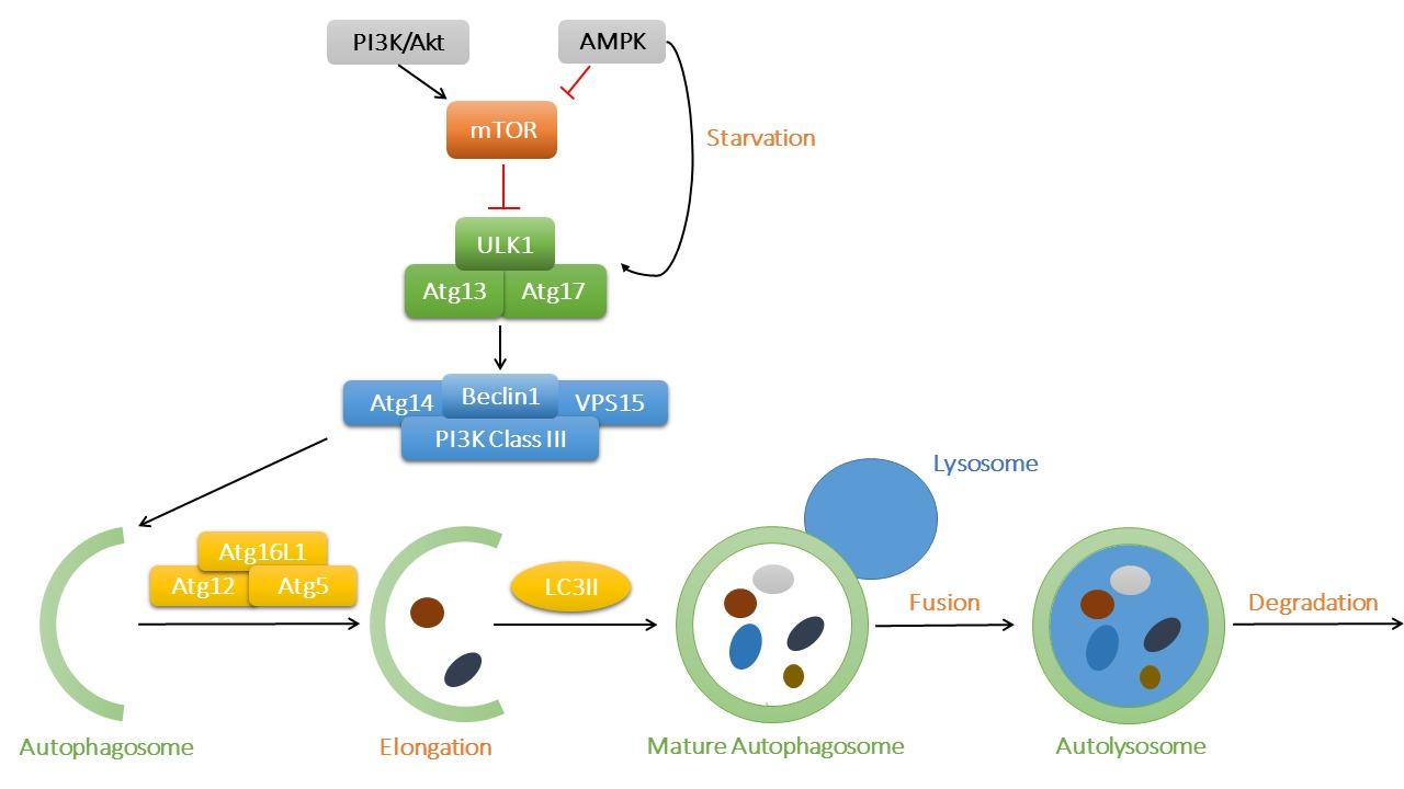 Frontiers | Autophagic Regulation of Lipid Homeostasis in