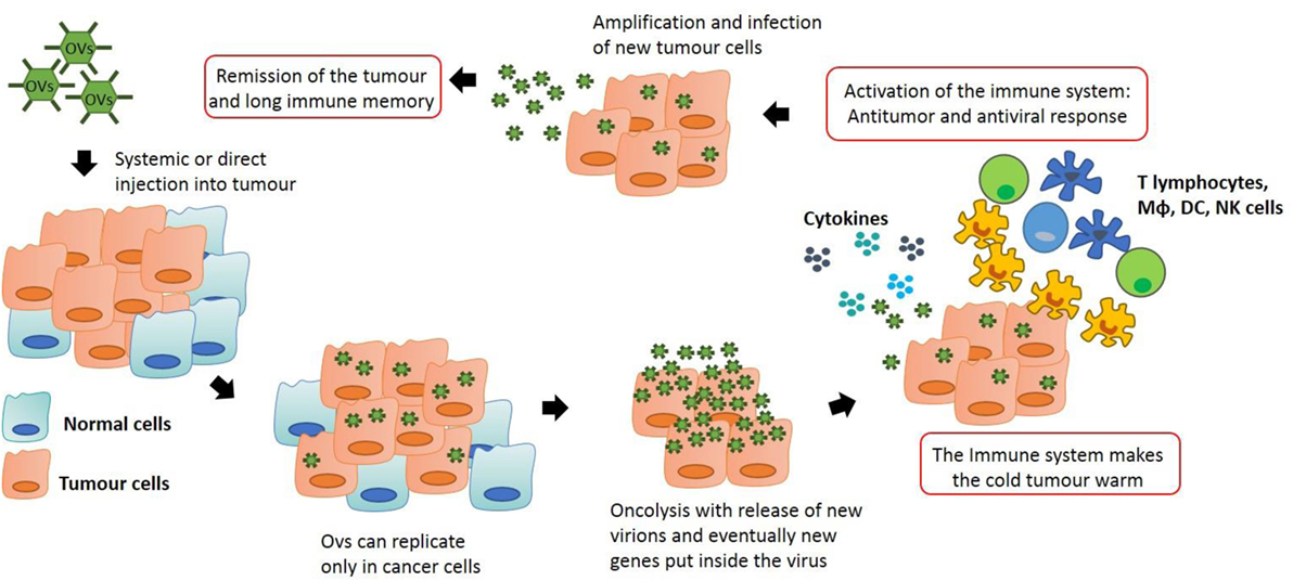 Frontiers | Oncolytic Viral Therapy and the Immune System: A