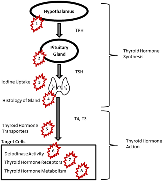 Frontiers Disruption In Thyroid Signaling Pathway A Mechanism