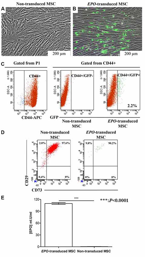 Frontiers | Human Mesenchymal Stem Cells Expressing