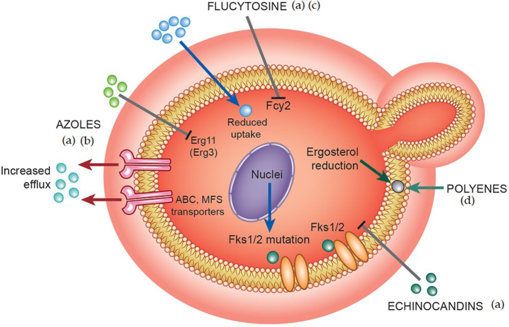 Frontiers | Candida Infections and Therapeutic Strategies