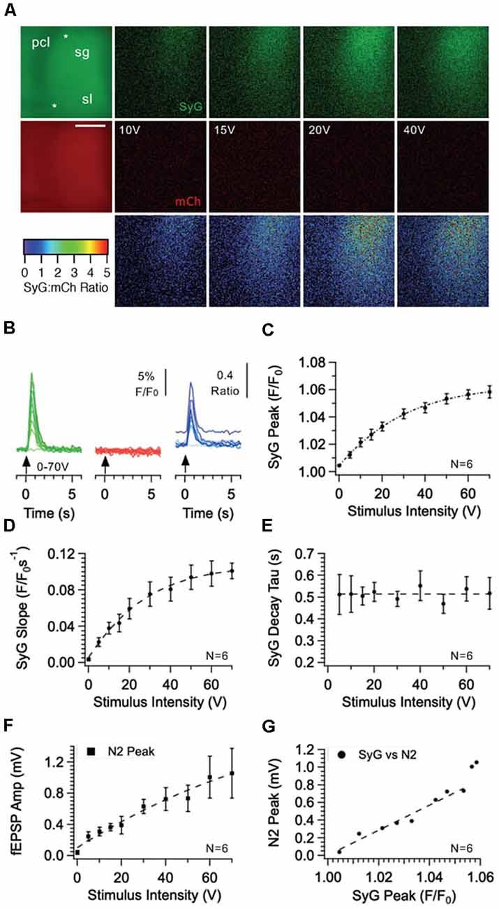 Frontiers | Imaging Calcium in Hippocampal Presynaptic