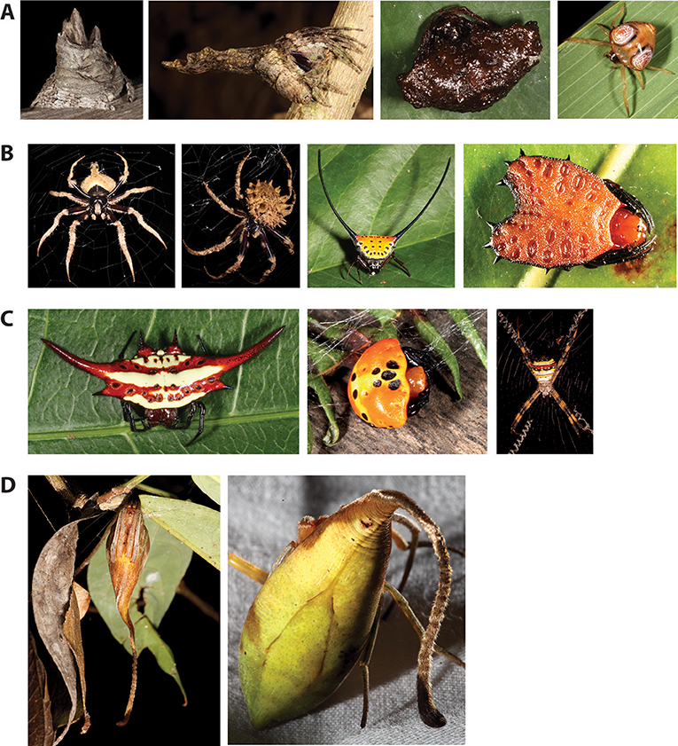 Figure 2 - Diversity in shapes of orb-weaver spiders.