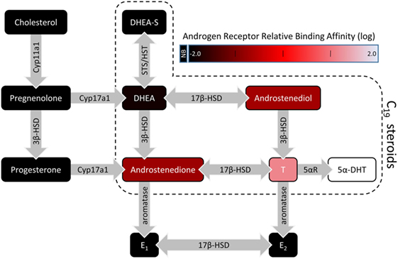 Frontiers | Androgen Regulation of the Mesocorticolimbic System and