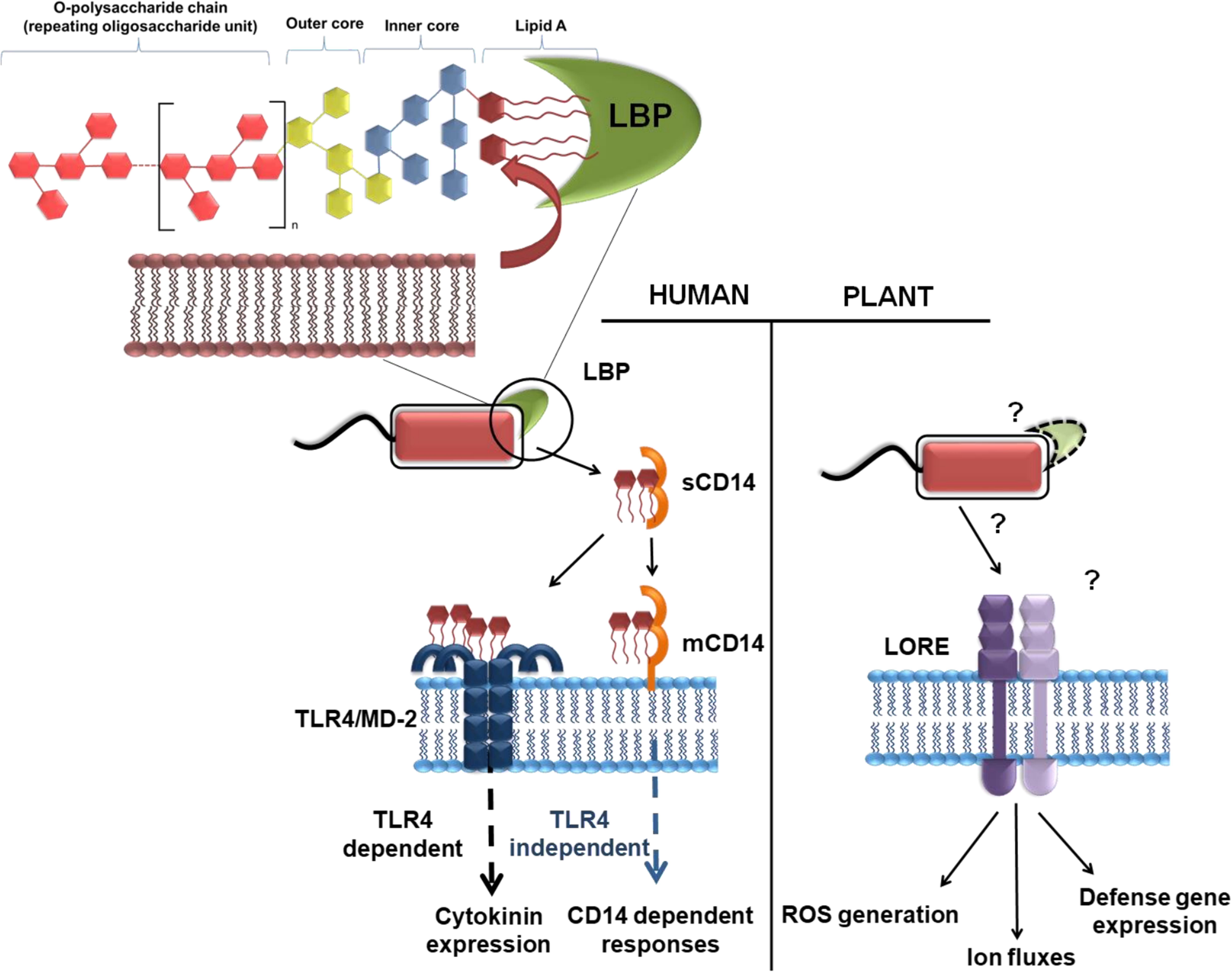 Frontiers | Glycans as Modulators of Plant Defense Against