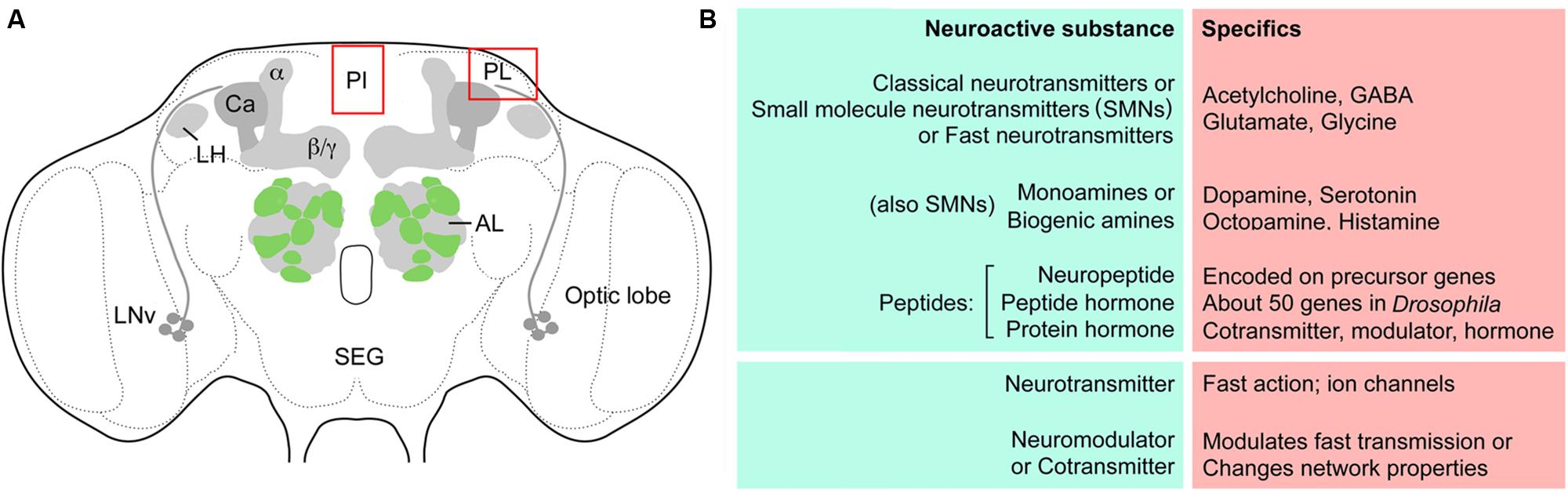 Frontiers Substrates For Neuronal Cotransmission With Cool Circuits Puts Your Brain Muscle To The Test