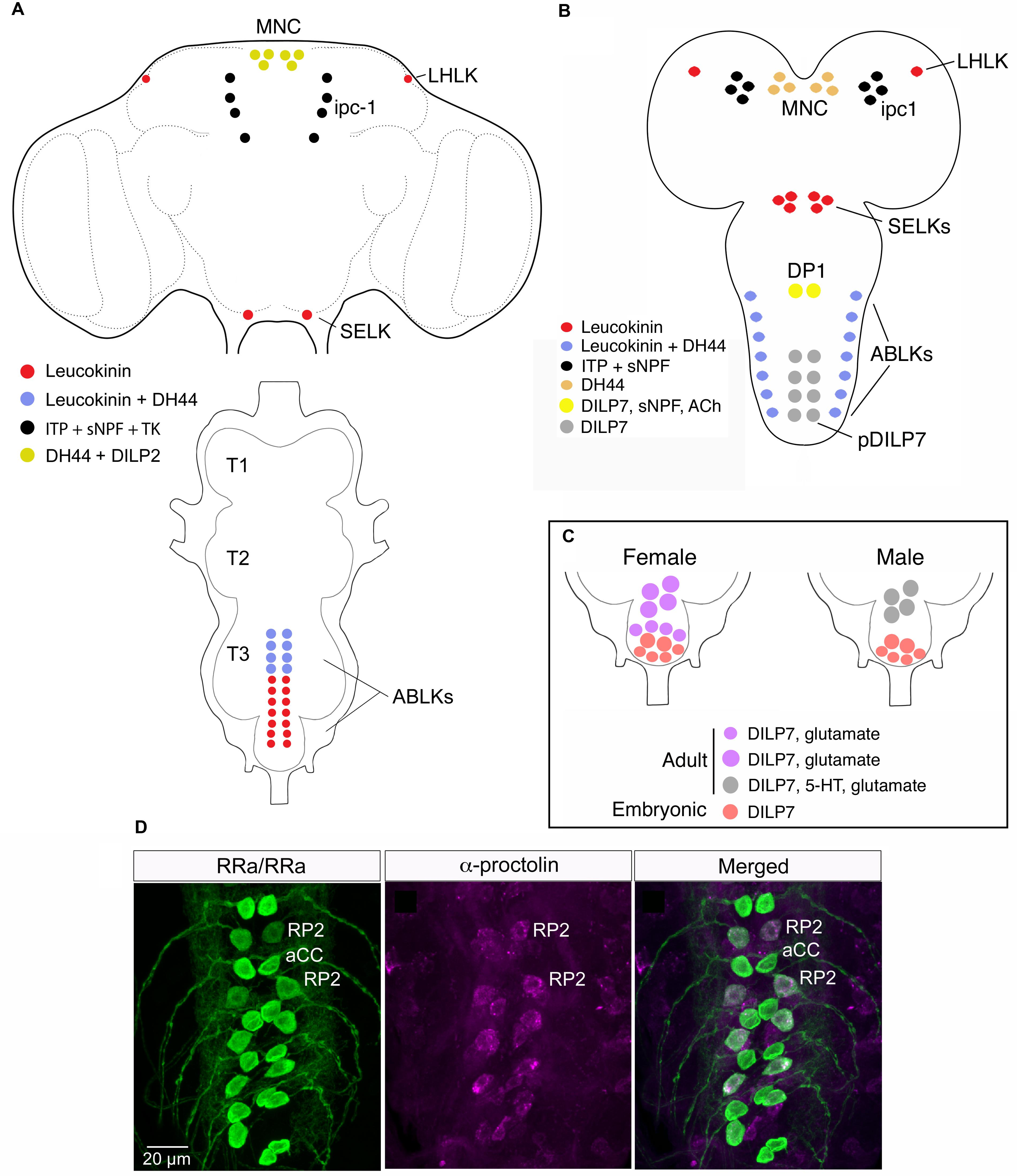 Frontiers Substrates For Neuronal Cotransmission With Generator Wiring Diagram L1 R1