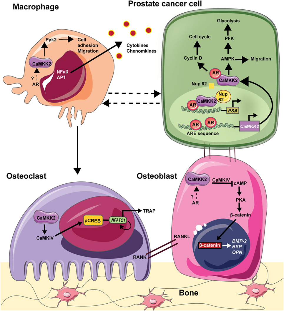 Frontiers | Androgen Receptor-CaMKK2 Axis in Prostate Cancer