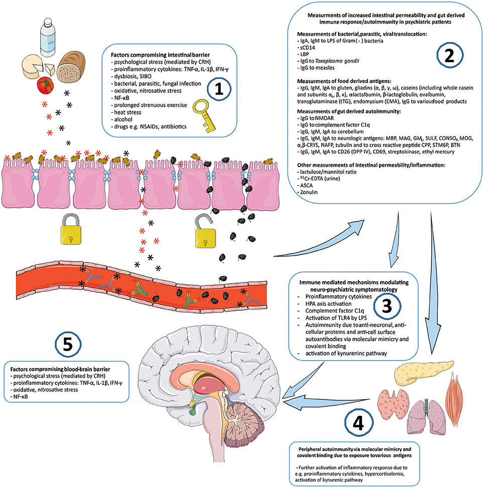 "Frontiers | ""Immune Gate"" of Psychopathology—The Role of Gut"