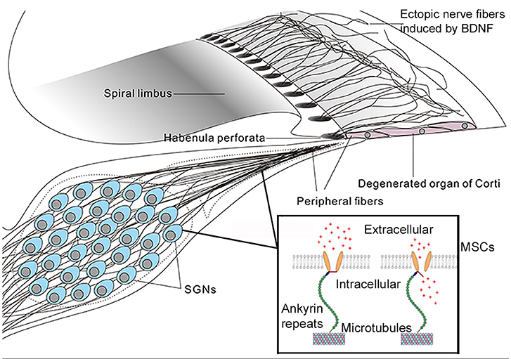 Frontiers | Cochlear Gene Therapy for Sensorineural Hearing