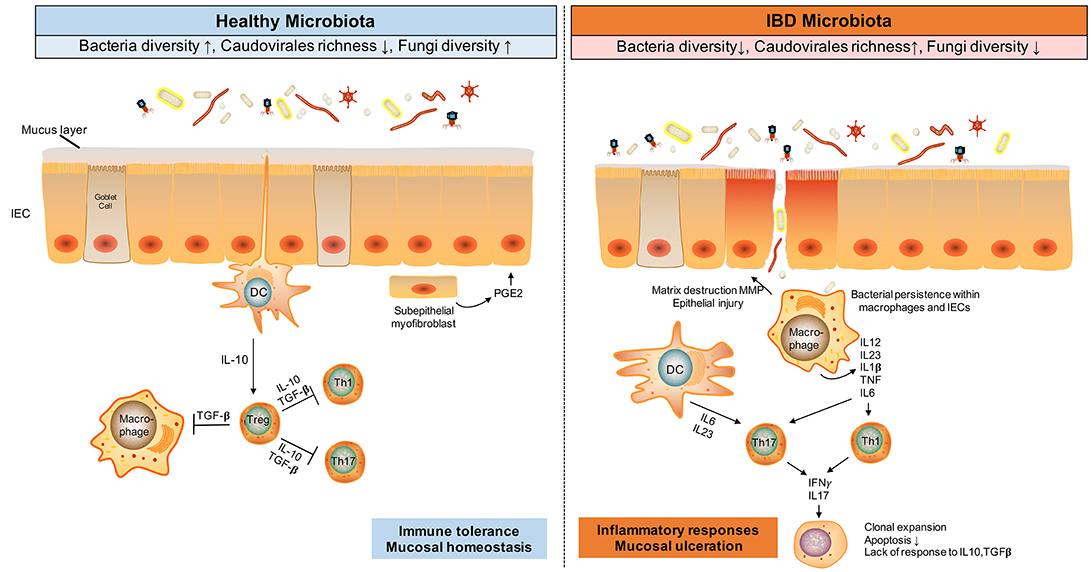 Frontiers | The Gut Microbiota in the Pathogenesis and