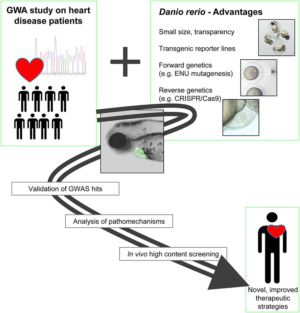 Frontiers Genetics Of Cardiovascular Disease Fishing For