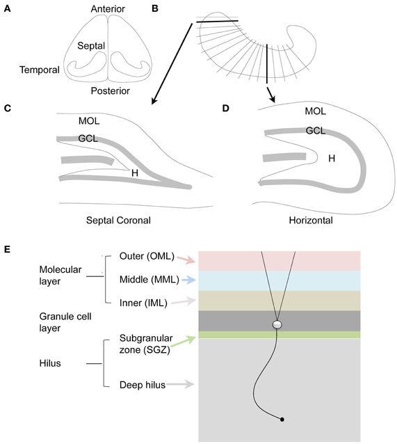 Frontiers | Hilar mossy cells of the dentate gyrus: a historical ...