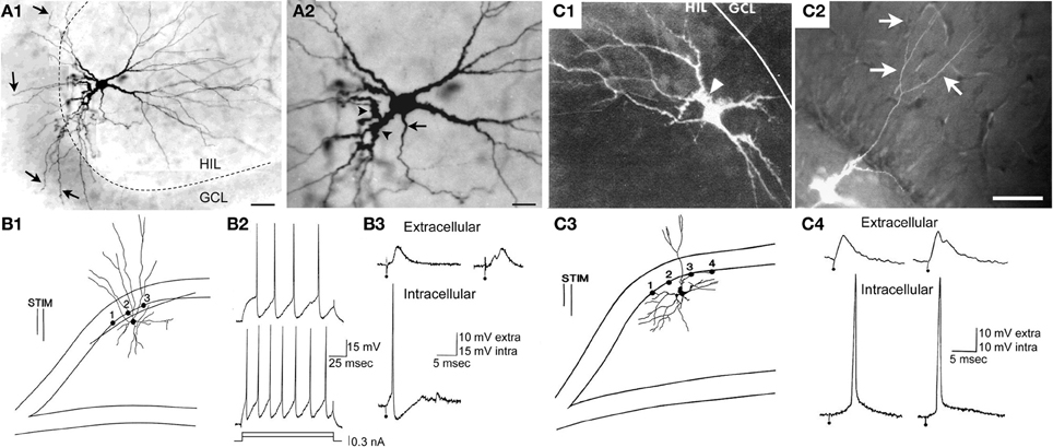 Frontiers Hilar Mossy Cells Of The Dentate Gyrus A Historical