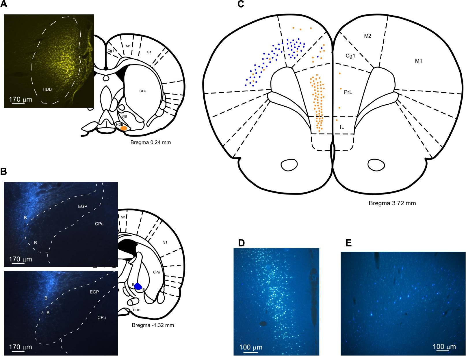 Frontiers Basal Forebrain Nuclei Display Distinct Projecting Pb30 Wiring Diagram