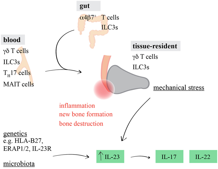 Frontiers | Whodunit? The Contribution of Interleukin (IL)-17/IL-22