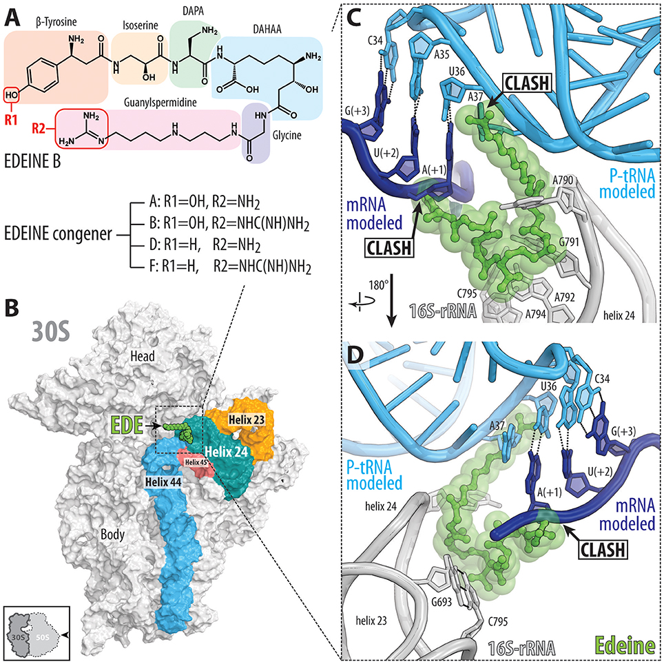 Frontiers The Mechanisms Of Action Ribosome Targeting Peptide Prokaryotic Cells Ib Biology Ms Elise