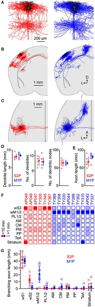 Frontiers | Diverse Long-Range Axonal Projections of