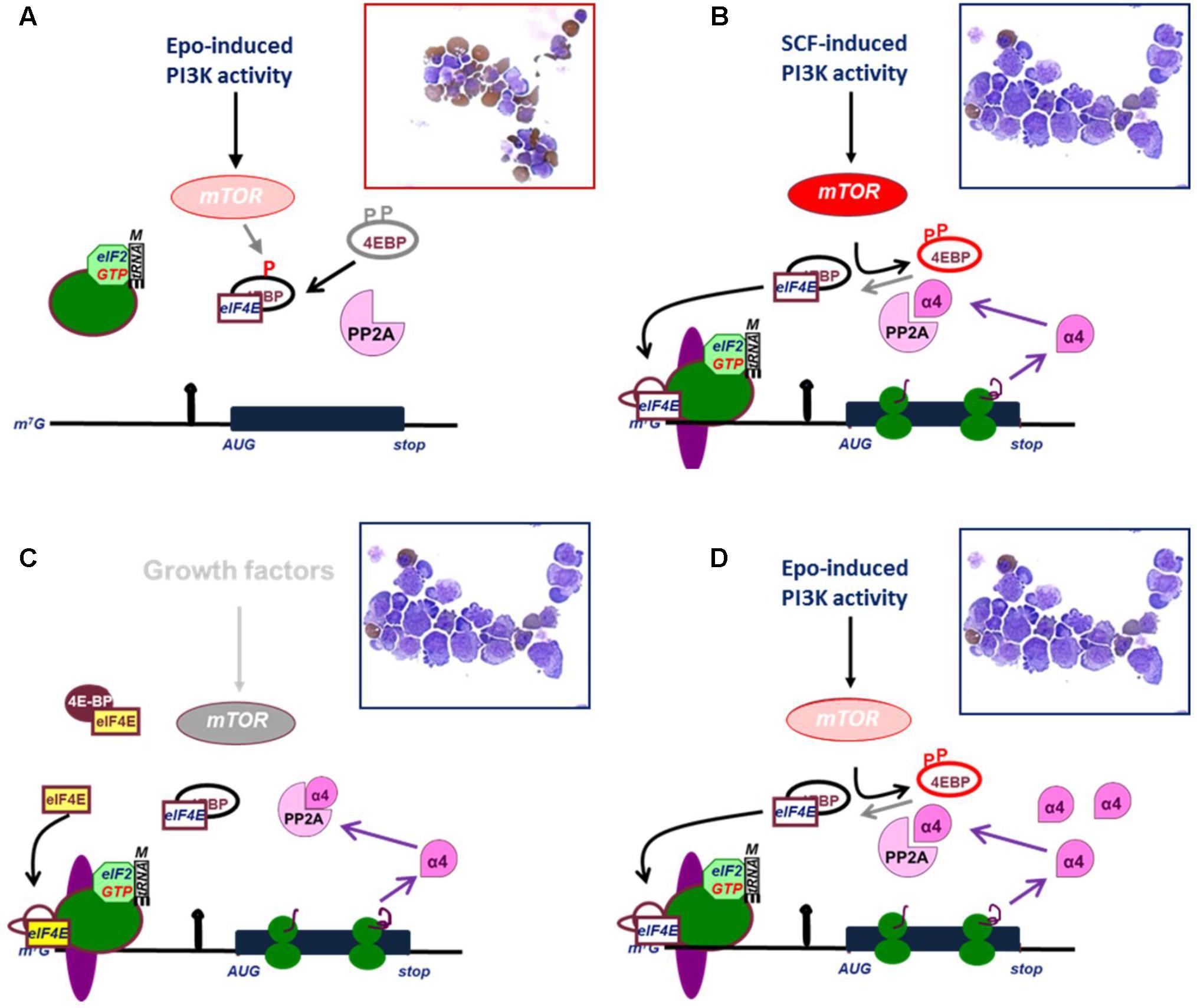 RNA Binding Proteins And Regulation Of MRNA