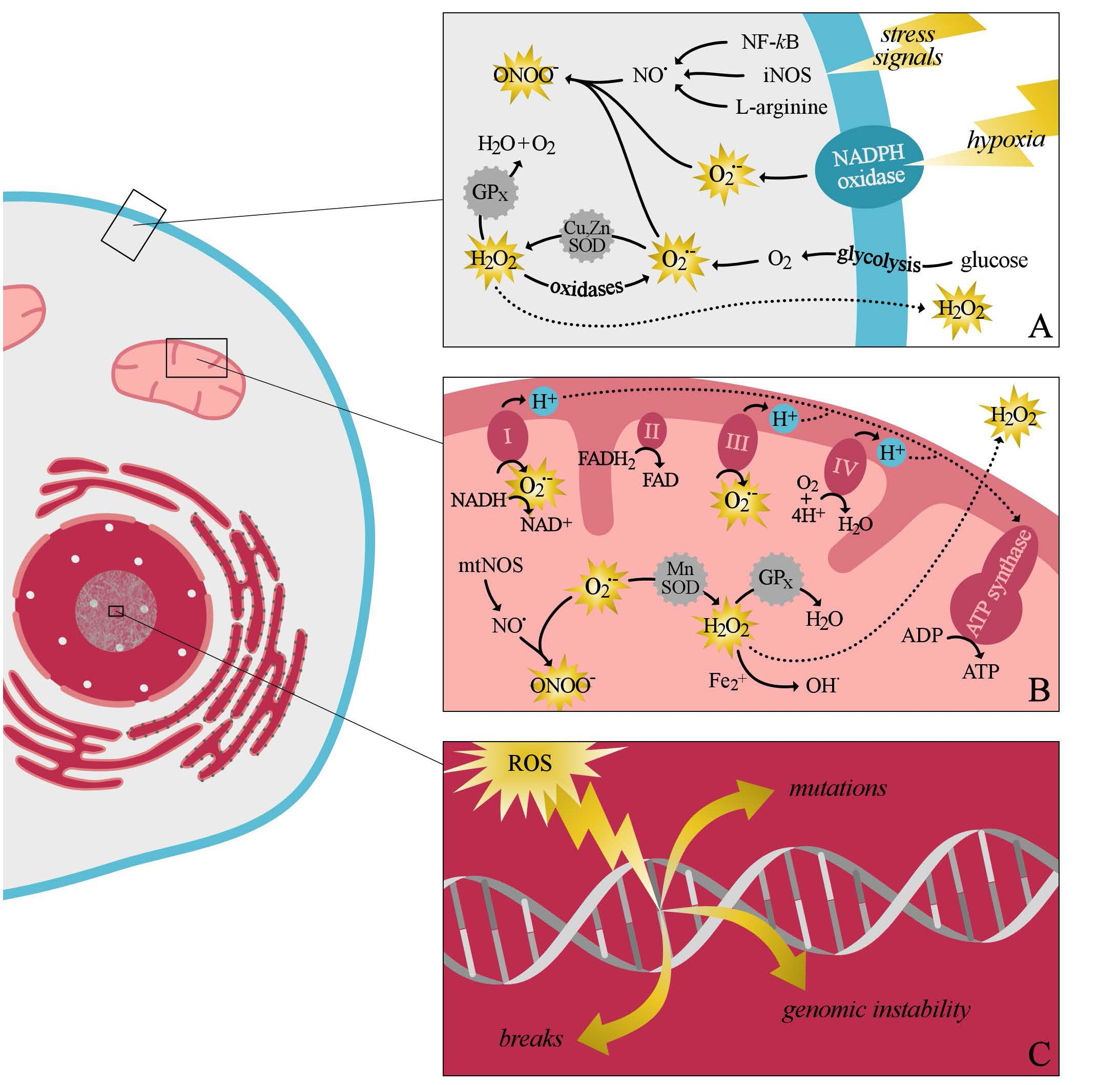 Frontiers   The Role of Oxidative Stress in the Development of ... 4c537215cb