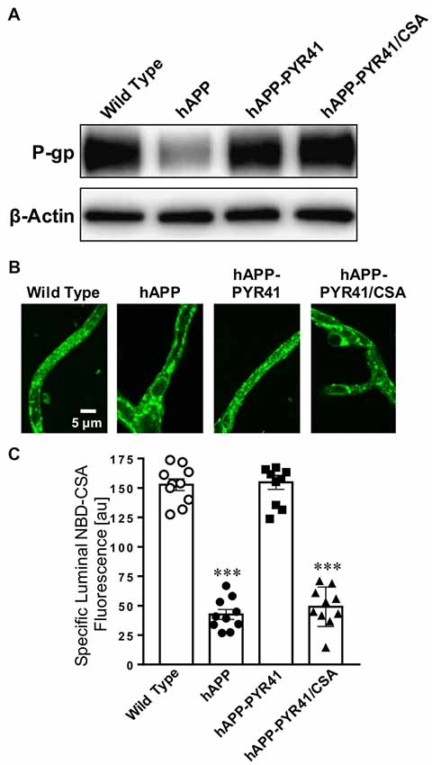 Frontiers | Preventing P-gp Ubiquitination Lowers Aβ Brain