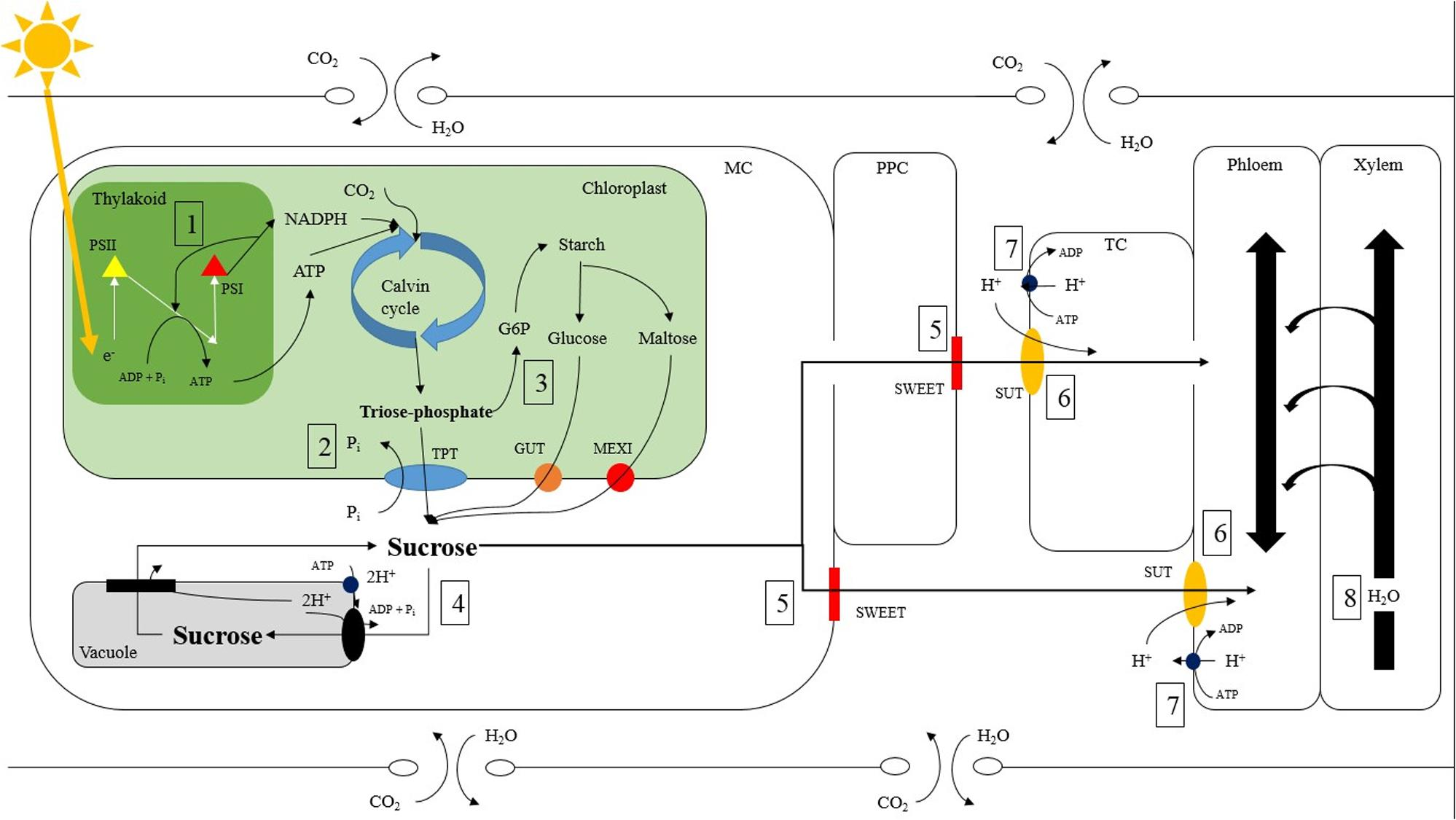 Frontiers Effects Of Light Quality And Intensity On Diurnal Simple Organ Circuit Diagram Project With