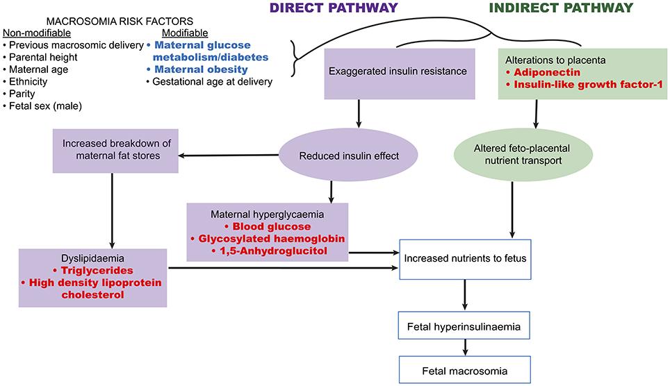 Frontiers Biomarkers For Macrosomia Prediction In Pregnancies