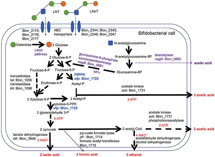xylulose kinase - 743×542